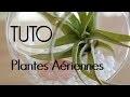 DIY - Plantes aériennes | décoration de tillandsia suspendue