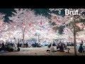 La floraison des cerisiers : un phénomène très attendu au Japon