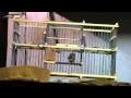 Capture oiseaux vivant sans blesser  avec cage piège