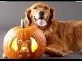 Chiens et chats drôles costumes d'Halloween Compilation 2,015