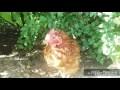 Traitement efficace du coryza chez les poules