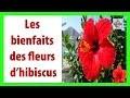Les bienfaits des fleurs d'hibiscus sur votre santé