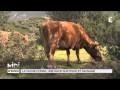 ANIMAUX : La vache Corse, une race rustique et sauvage