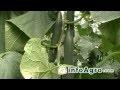 Astuces pour cultiver le concombre - 1/2