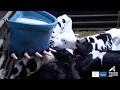 Distribution lait fermenté pour les veaux