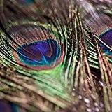 10 plumes de Paon naturelles 80cm de long - Rosemarie SCHULZ®