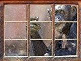 chimpanzé Attentif effet de crayon d'art Fenêtre en 3D look, mur ou format vignette de la porte: 92x62cm, stickers muraux, ...