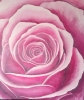 Painting - Rose rose