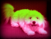photo animaux chien : funky bichon