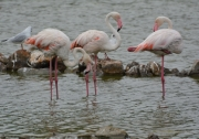 photo animaux flamants roses goeland etang de sigean : Flamants roses et  goéland