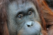 photo animaux orang outan regard douceur gerard vouillon : Tendresse