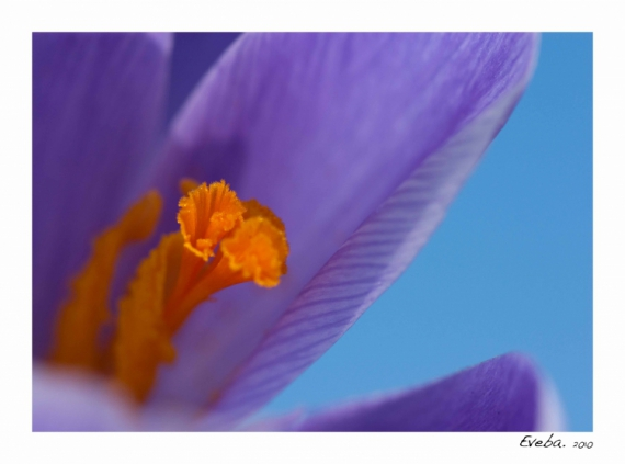PHOTO crocus macro printemps Fleurs  - Perception 038