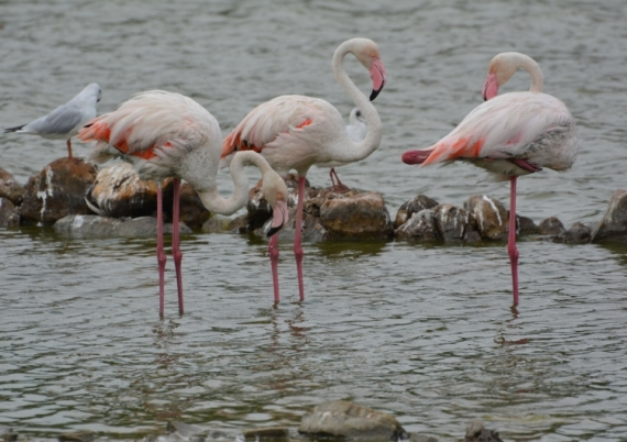 PHOTO flamants roses goéland étang de Sigean Animaux  - Flamants roses et  goéland