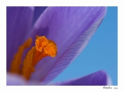 photo fleurs crocus macro printemps : Perception 038