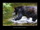 Photo - Grizzly à la pêche au saumon