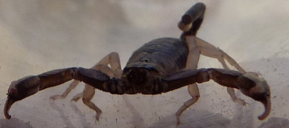 PHOTO scorpion arachnidé Provence nature Animaux  - Scorpion
